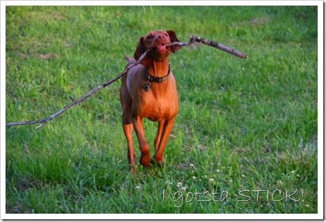vizsla with stick