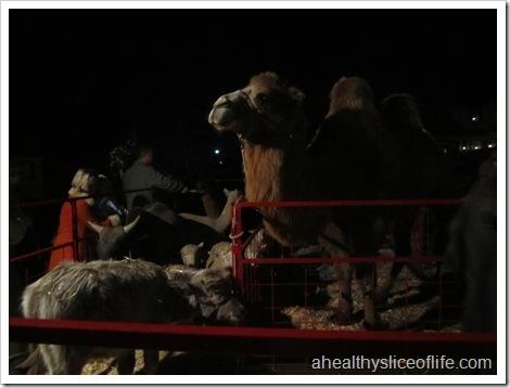 Camel at Davidson