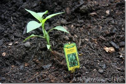 backyard garden- baby jalapeno plant