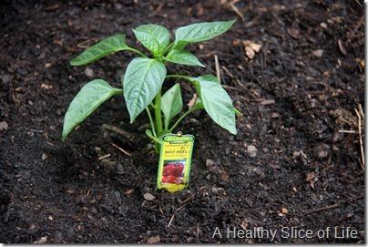 backyard garden- baby red bell pepper plant