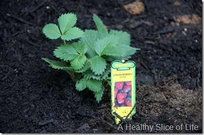 backyard garden- baby strawberry plant