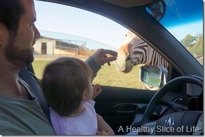 Lazy 5 Ranch- Mooresville- zebra