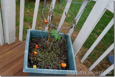 garden- dead tomato plants
