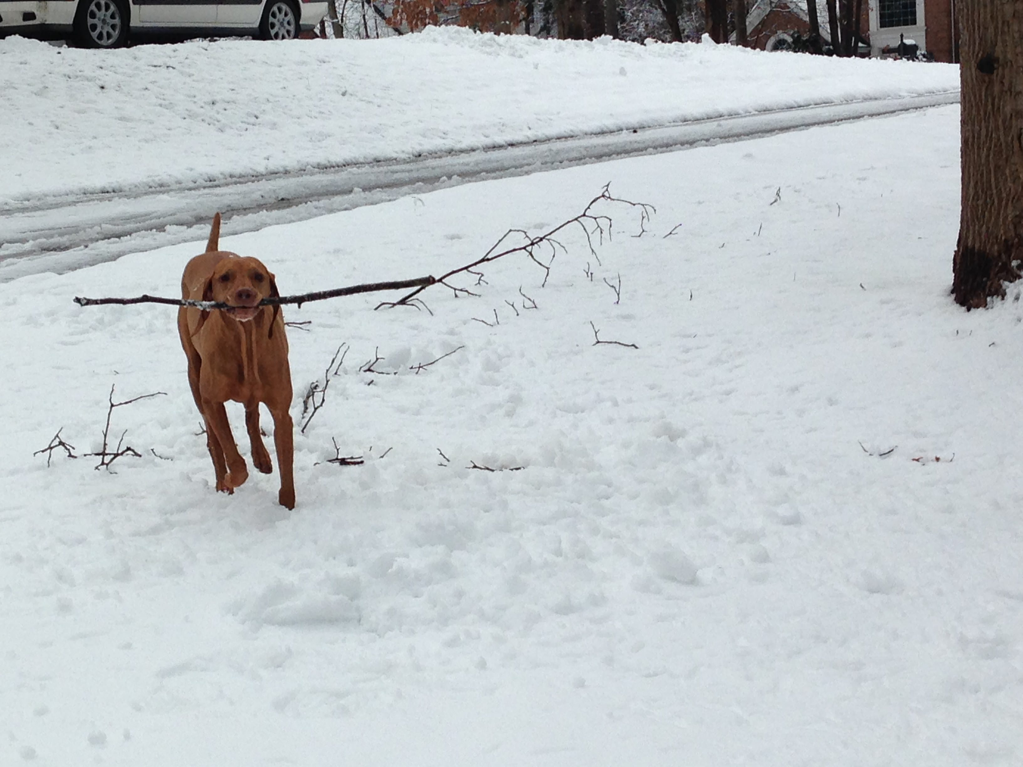 snowy vizsla