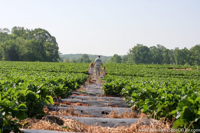 dad and daughters in strawberry field